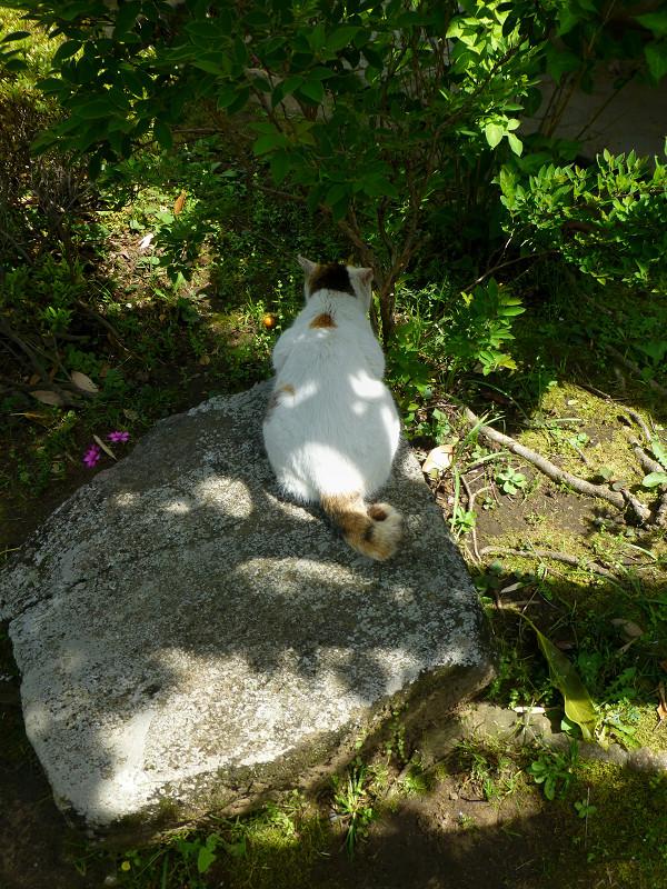 岩に乗ってる白三毛猫の後ろ姿1