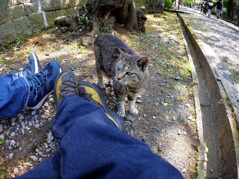 参道端のキジトラ猫1