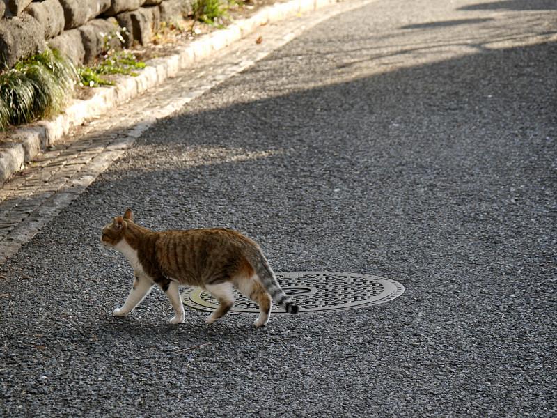 道を横切るキジ白猫1