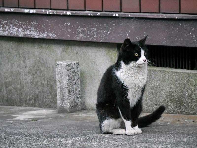 顔だけを動かす黒白猫1