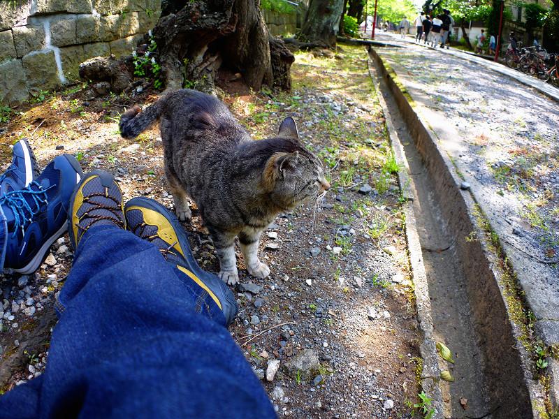 参道端のキジトラ猫2