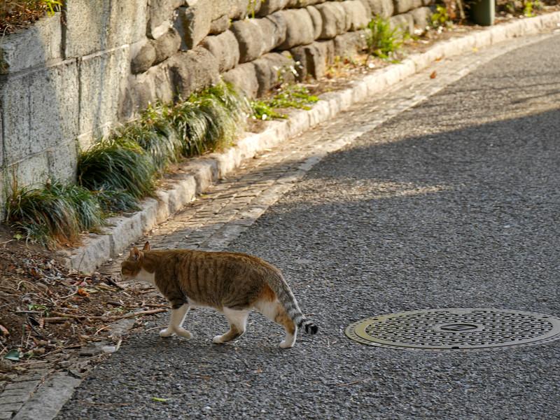 道を横切るキジ白猫2