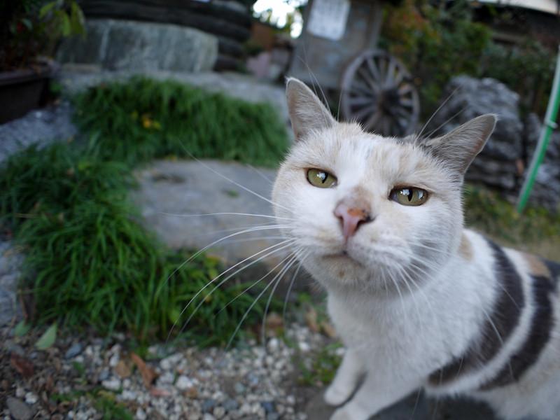 境内を歩く薄い柄の三毛猫3