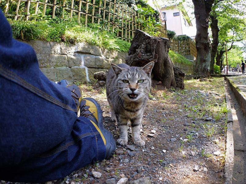 参道端のキジトラ猫3