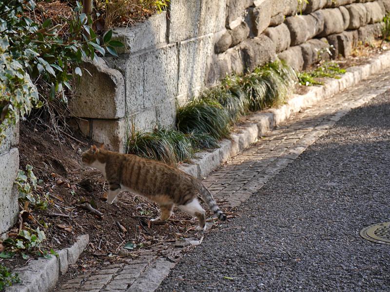 道を横切るキジ白猫3
