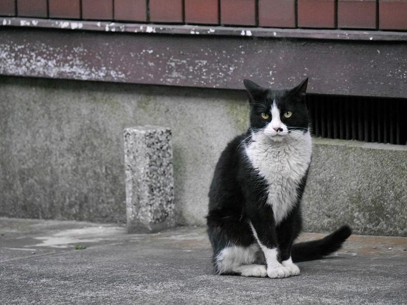 顔だけを動かす黒白猫3