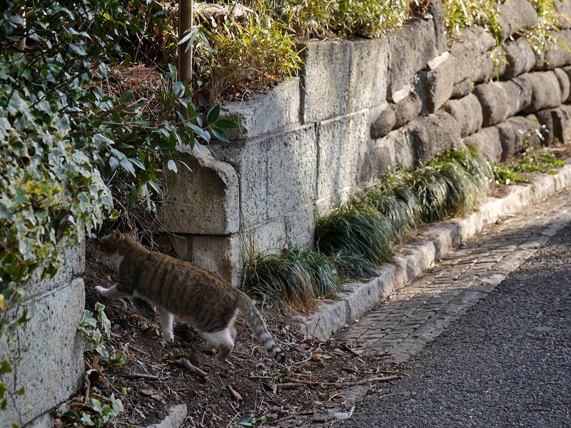 道を横切るキジ白猫4