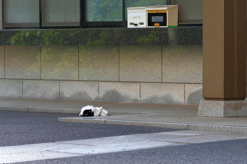 転がっていた黒白猫1