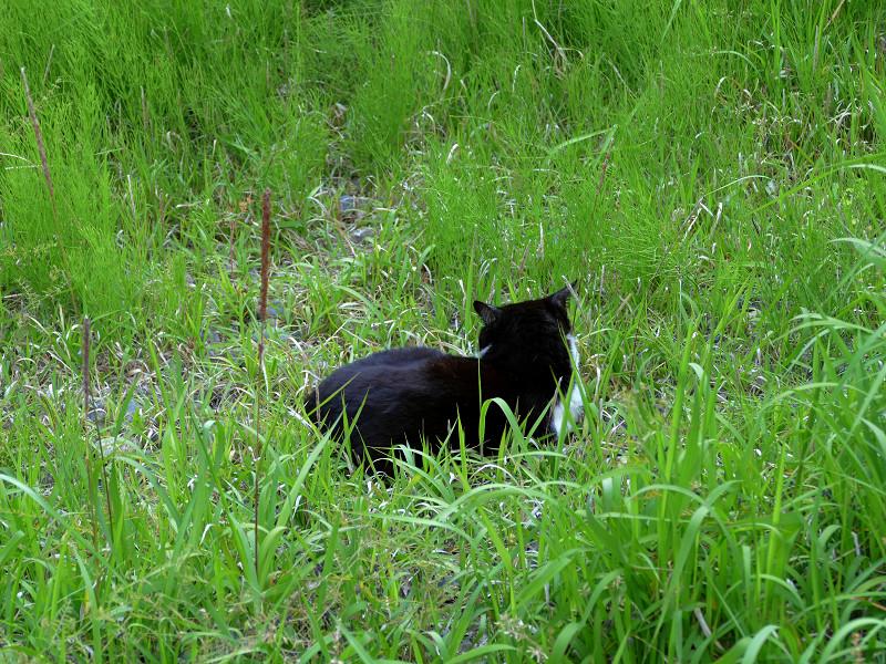 緑の中の黒白猫