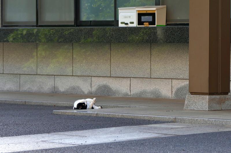 転がっていた黒白猫2