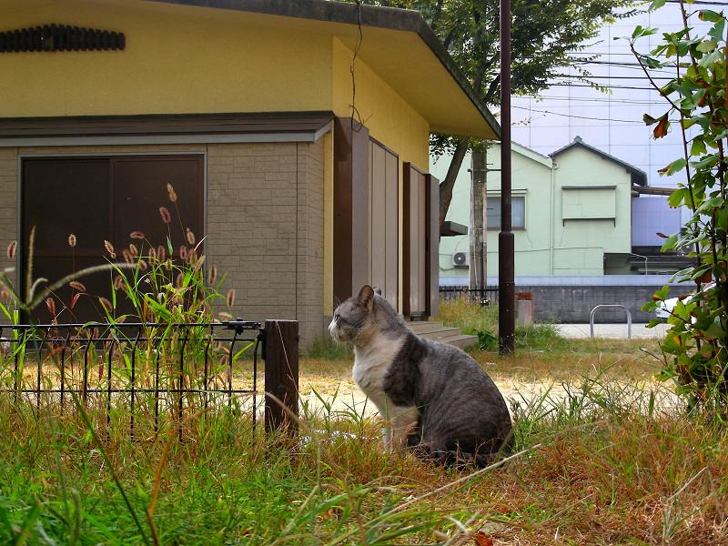 公園草むらのグレー白猫1