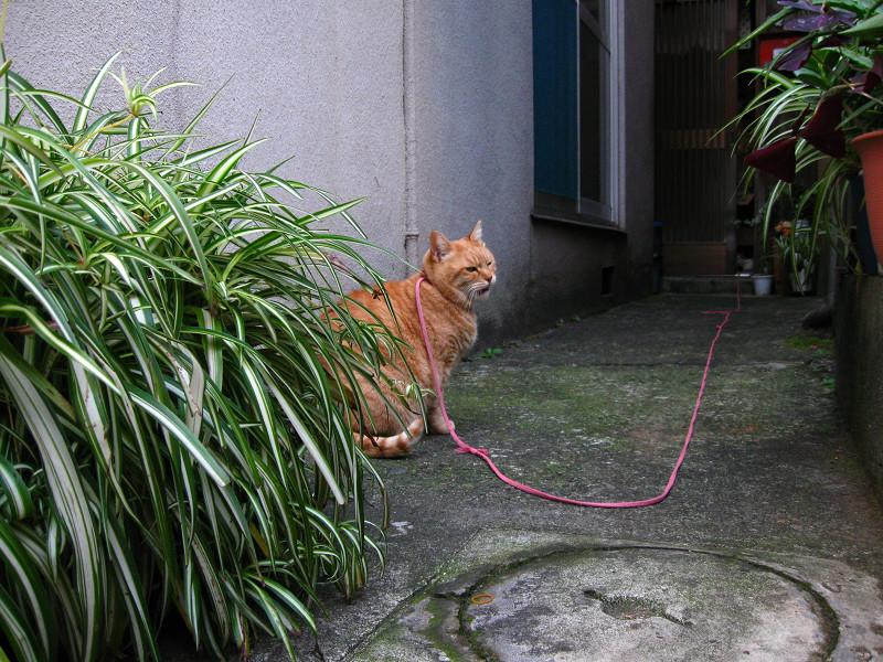 紐で繋がれてる茶トラ猫
