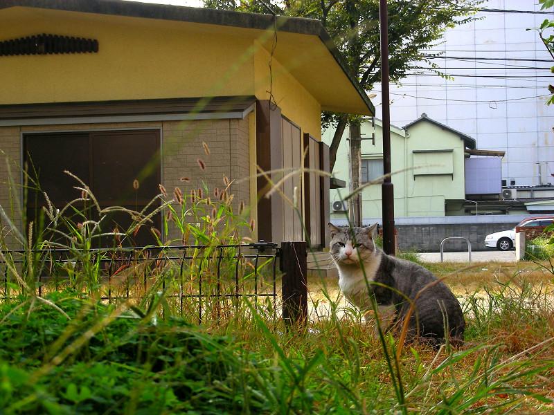 公園草むらのグレー白猫2