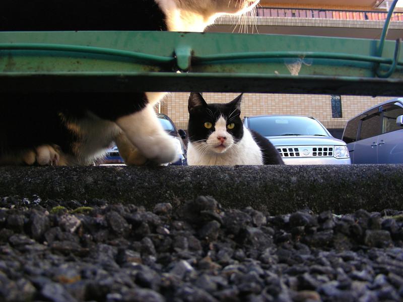 金網隙間と黒白猫2