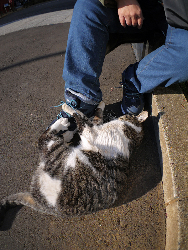 スニーカーで遊ぶキジ白猫1