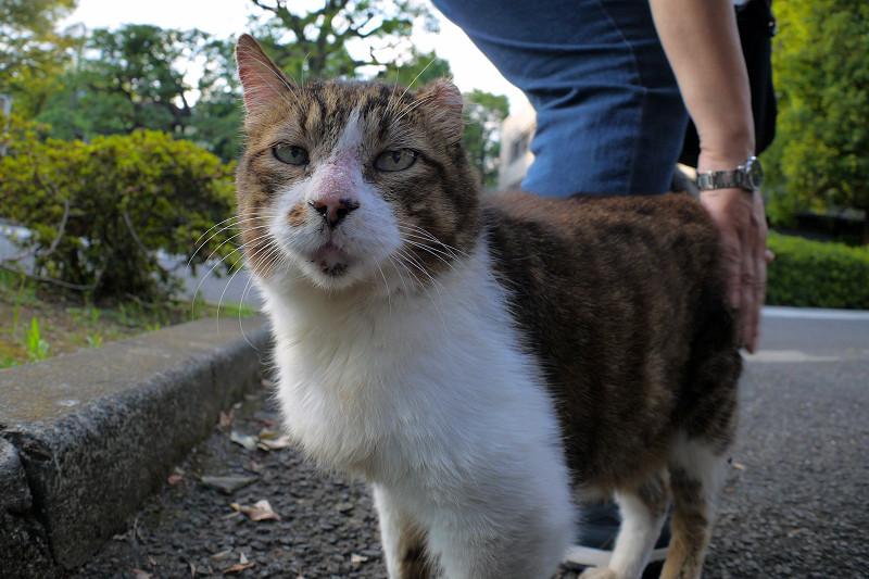 腰をトントンのキジ白猫1