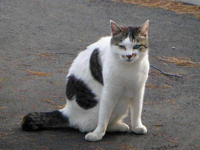 毛づくろいしていた白キジ猫2