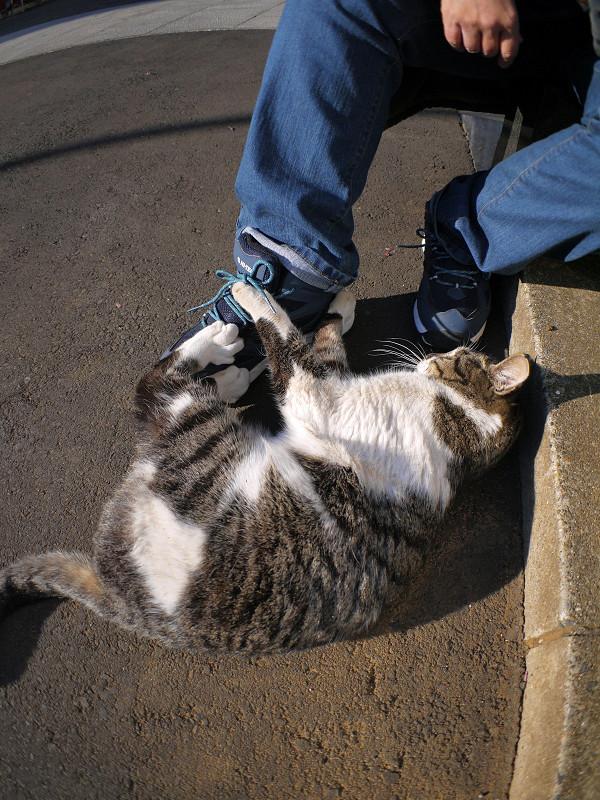 スニーカーで遊ぶキジ白猫2