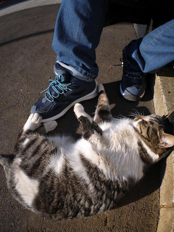 スニーカーで遊ぶキジ白猫3
