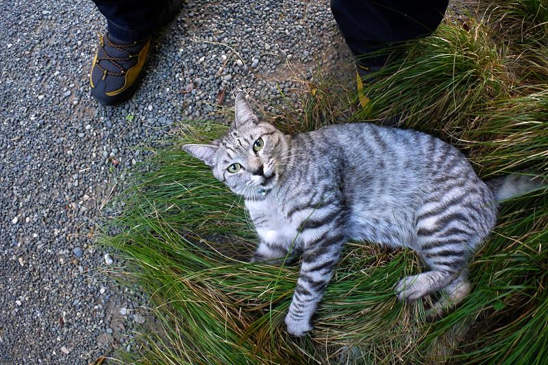 草の上で遊ぶサバトラ猫1