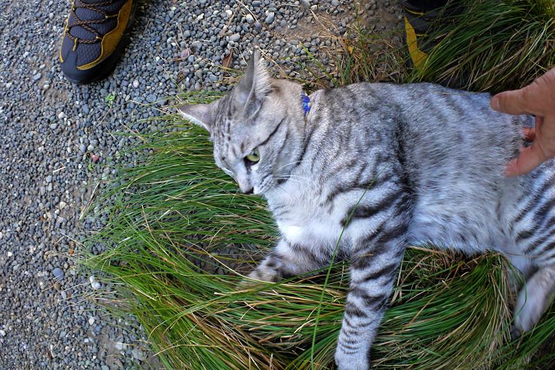 草の上で遊ぶサバトラ猫2