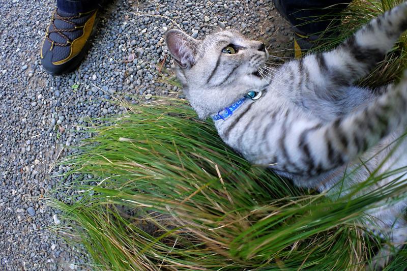 草の上で遊ぶサバトラ猫3
