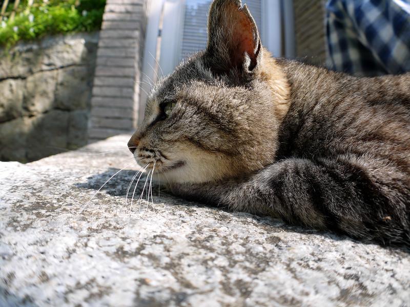 腹ばってまったりしているキジトラ猫1