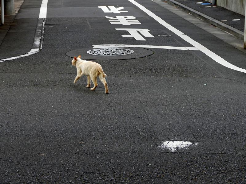 路地を歩く白系の猫1