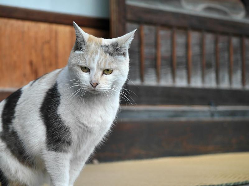 縁側で見ている薄い柄の三毛猫1