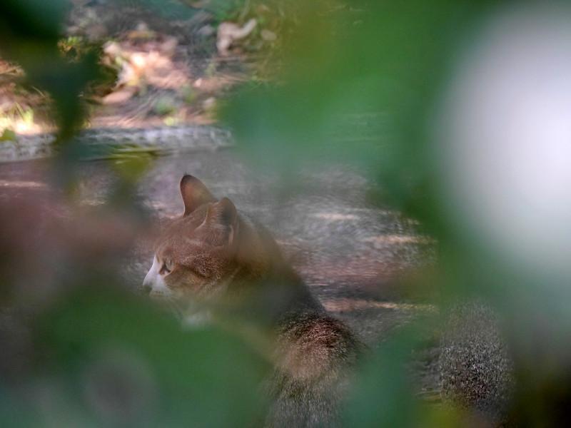 草葉の向こうのキジ白猫1