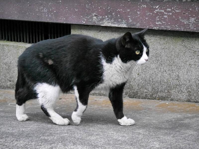 ゆっくりと動く黒白猫1