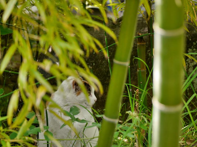 竹やぶの白三毛猫1