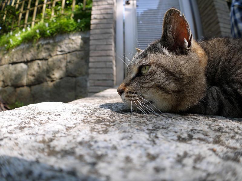腹ばってまったりしているキジトラ猫2