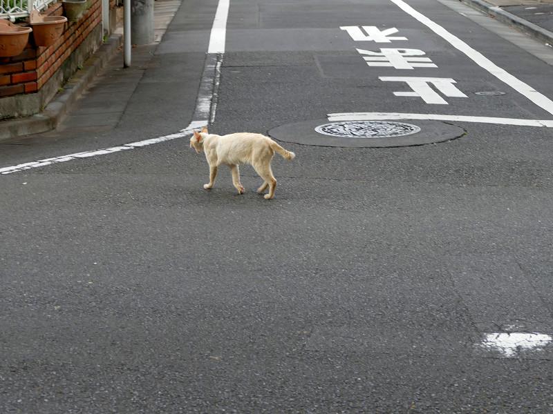 路地を歩く白系の猫2