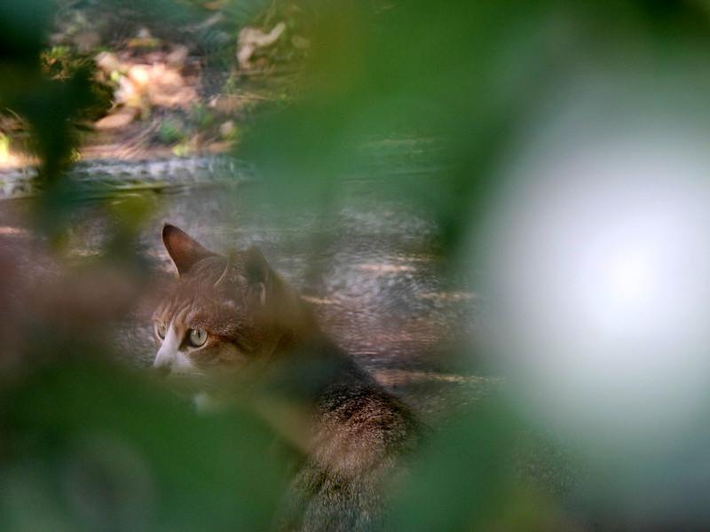 草葉の向こうのキジ白猫2