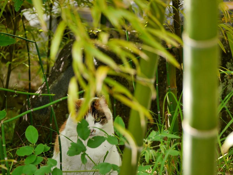 竹やぶの白三毛猫2