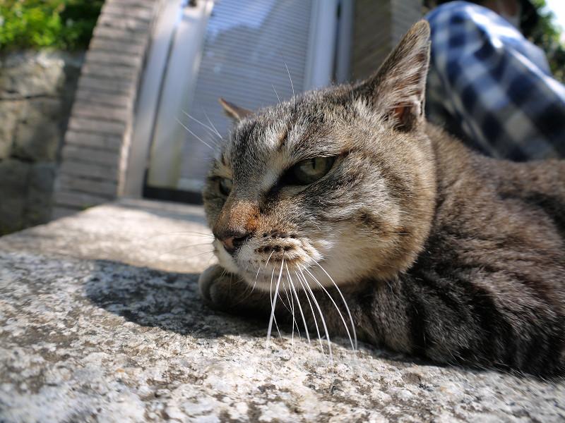 腹ばってまったりしているキジトラ猫3