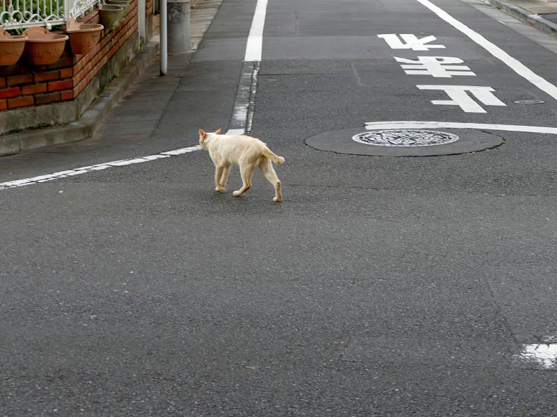 路地を歩く白系の猫3