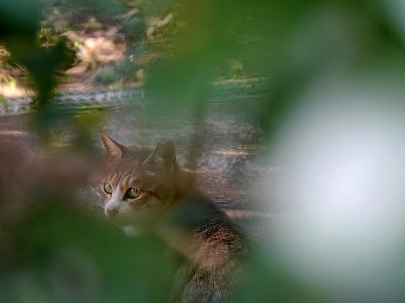 草葉の向こうのキジ白猫3
