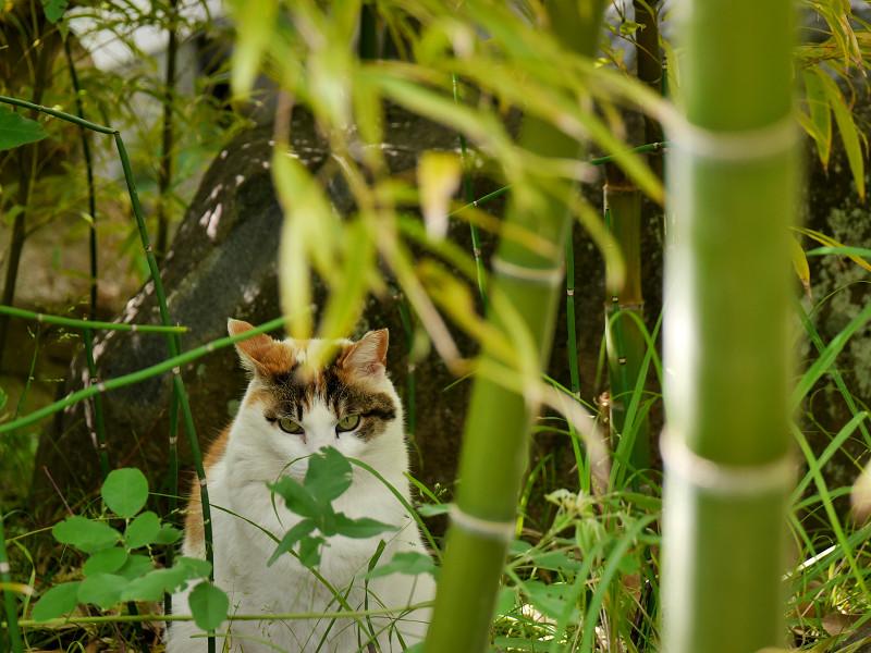 竹やぶの白三毛猫3