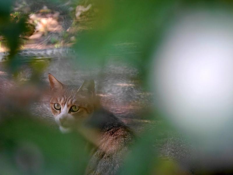 草葉の向こうのキジ白猫4