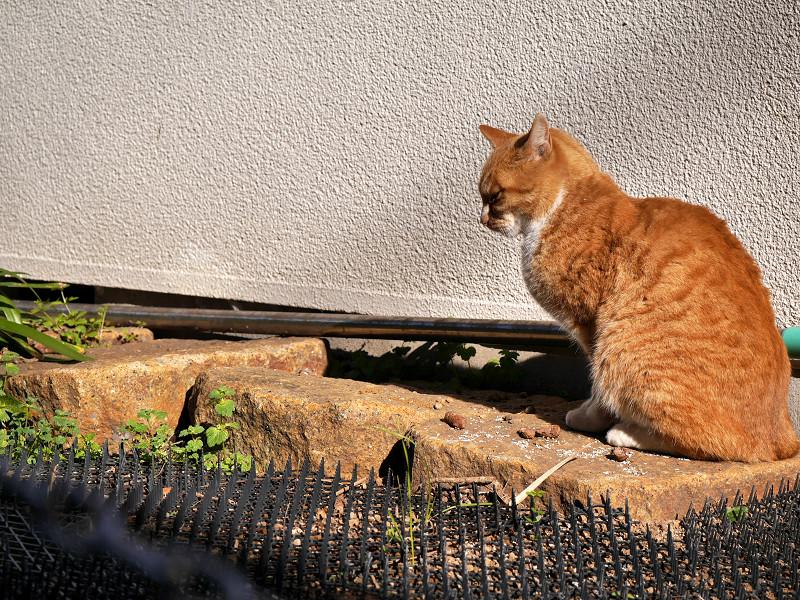 立ち止まった茶白猫2