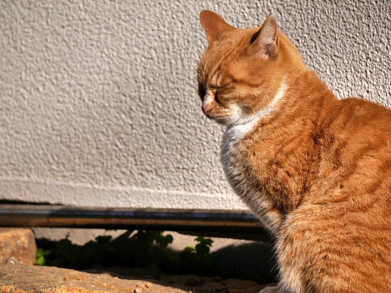 立ち止まった茶白猫3