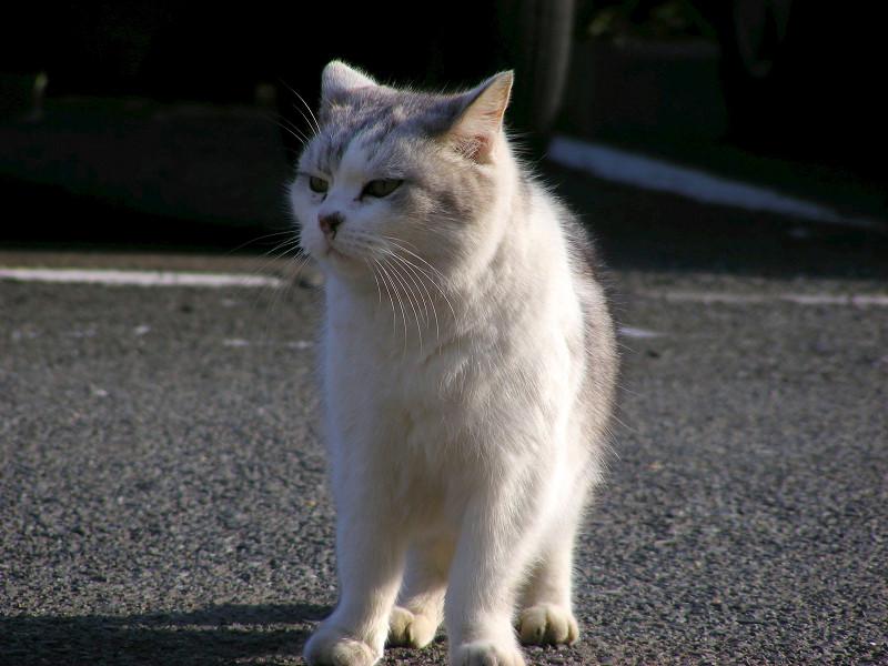 立ち止まる洋風猫1