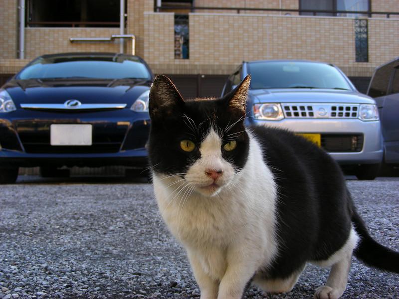 駐車場と黒白猫1