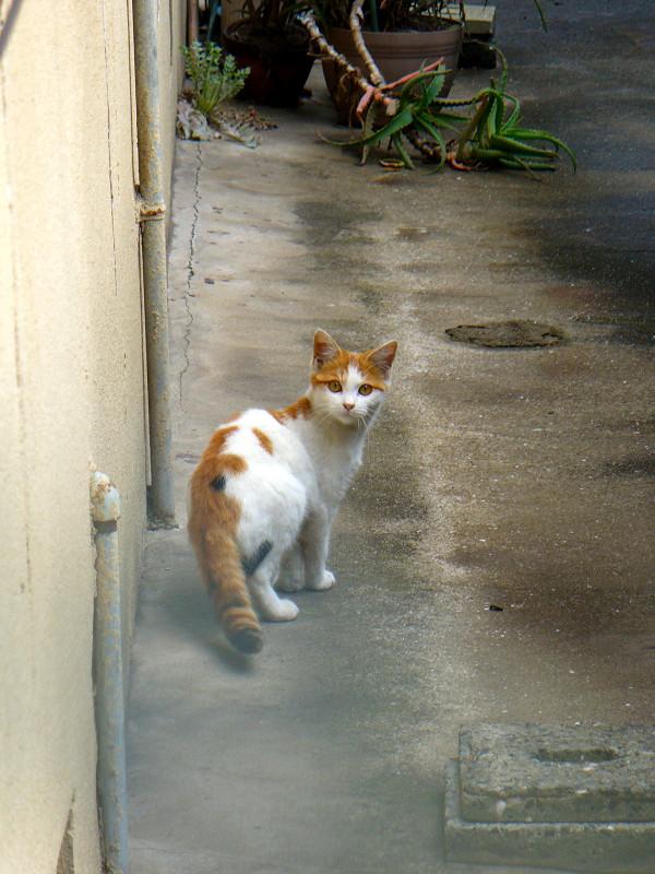 振り返った白茶猫1