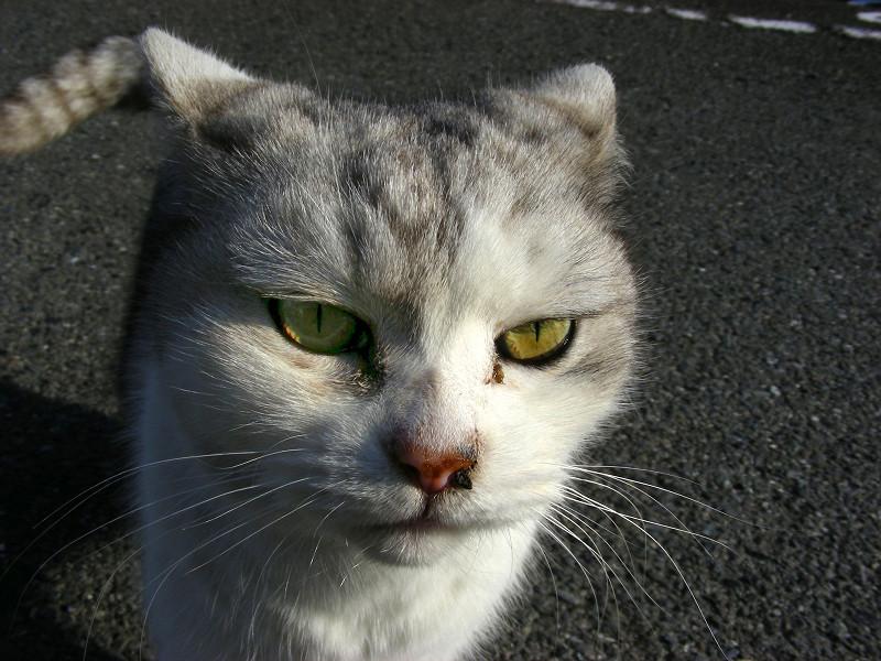 立ち止まる洋風猫2