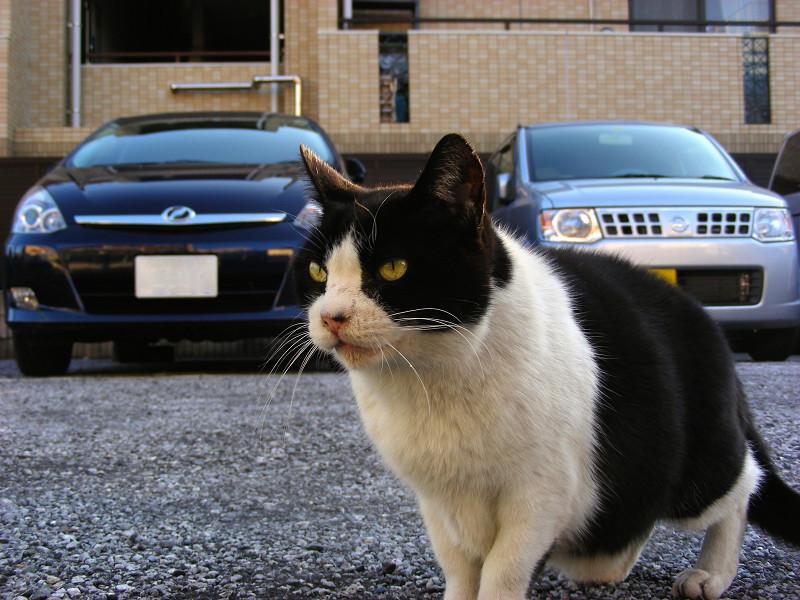 駐車場と黒白猫2