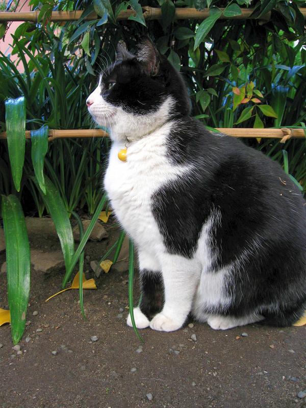地面に座ってる黒白猫2