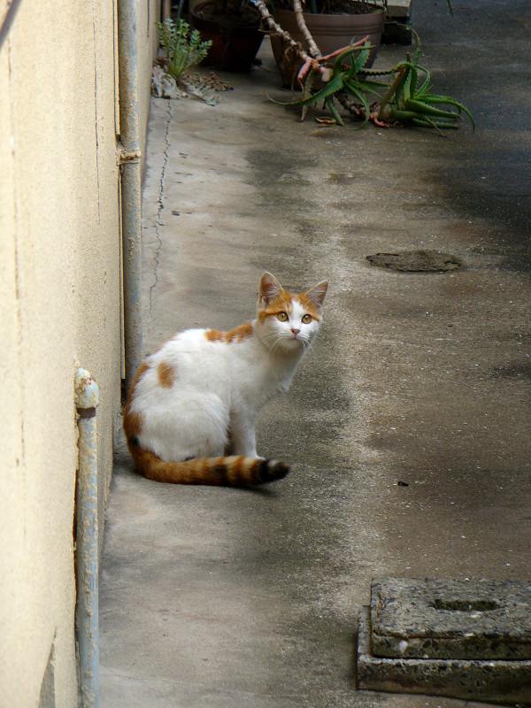 振り返った白茶猫2